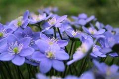 Hepatica-nobilis - blühende Blumen im Vorfrühling Stockfotos
