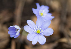 Hepatica nobilis Stock Photo