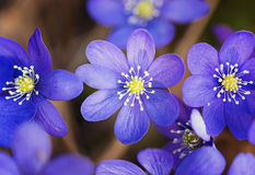 Hepatica nobilis blooming in the spring forest Stock Photography