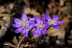 Hepatica nobilis Royalty Free Stock Photography