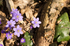 Hepatica nobilis Royalty Free Stock Photos