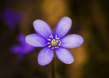 Hepatica nobilis close up Royalty Free Stock Photo