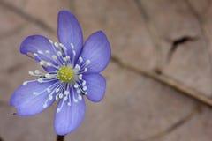 Hepatica nobilis Royalty Free Stock Images