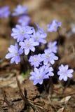 Hepatica Nobilis - de eerste bloem van de Lente Royalty-vrije Stock Foto