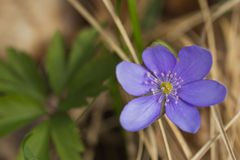 Hepatica nobilis Royalty Free Stock Images