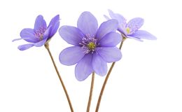 Hepatica Nobilis - first Spring Flower isolated royalty free stock photography
