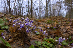 Hepatica nobilis. The first spring flowers hepatica in wood on an edge Royalty Free Stock Photos