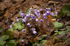 Hepatica nobilis. The first spring flowers hepatica in wood on an edge Royalty Free Stock Image