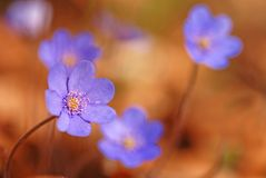 Hepatica nobilis flower Stock Photo