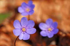 Hepatica nobilis flower Royalty Free Stock Photo