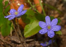 Hepatica nobilis flower Royalty Free Stock Photos