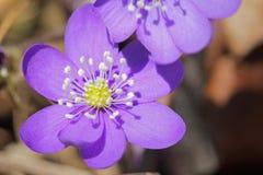 Hepatica Nobilis Flower Royalty Free Stock Photos