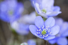 Hepatica nobilis flower closeup shot Stock Photos