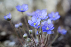 Hepatica nobilis flower closeup shot Royalty Free Stock Images