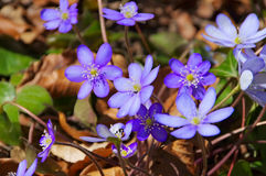 Hepatica nobilis flower in spring Stock Images