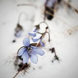 Hepatica nobilis flower sticking out of the snow Stock Image