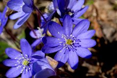 Hepatica Nobilis Flowers Stock Photos