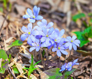 Hepatica nobilis flowers Stock Photo