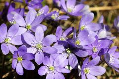 Hepatica Nobilis Flowers at Spring Stock Photography