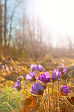 Hepatica nobilis flowers in spring Stock Images