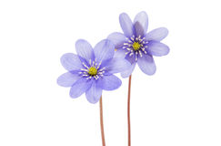 Hepatica nobilis isolated Stock Image