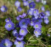 Hepatica nobilis.JH fotografia de stock royalty free
