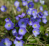 Hepatica nobilis.JH. Flowering Hepatica nobilis during spring in sweden royalty free stock photography