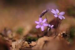 Hepatica Nobilis kwiat Zdjęcia Stock