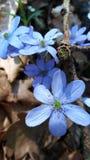 Hepatica nobilis kwiat w dzikim zdjęcia royalty free