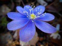 Hepatica nobilis (liverleaf,地钱) 库存照片