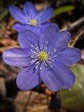 Hepatica-nobilis (liverleaf, Liverwort) Stockfotos