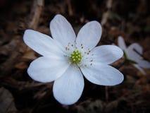 Hepatica nobilis (liverleaf, liverwort) Royalty Free Stock Image