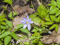 Hepatica nobilis liverleaf lub porostnica, kwitnący w suchych liściach i wiosny świrzepie, makro-, selekcyjna ostrość, Obrazy Stock