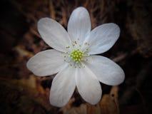 Hepatica nobilis liverleaf, porostnica (,) Obraz Royalty Free