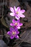Hepatica nobilis liverleaf rosnąć dziki w Szwecja Fotografia Stock