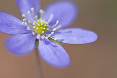 Hepatica Nobilis Royalty Free Stock Image