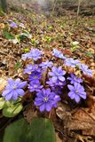 Hepatica nobilis in spring forest Royalty Free Stock Images