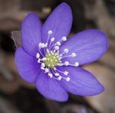 hepatica nobilis springflower 免版税库存照片