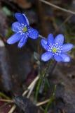 Hepatica nobilis Tausendstel nach einem Regen Stockfotografie