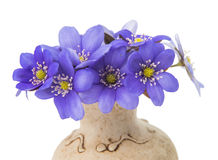 Hepatica nobilis in a vase Royalty Free Stock Image