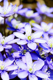 Hepatica nobilis Stock Image