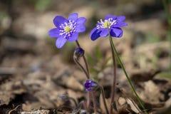 Hepatica Nobilis wiosny wcze?ni kwiaty zdjęcie royalty free