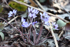 Hepatica.The rear view. Stock Image