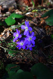 Hepatica. Royalty Free Stock Photography