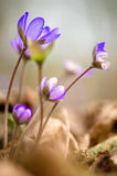 Hepatica Royalty Free Stock Image