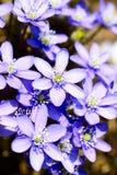 Hepaticanobilis Stock Foto's