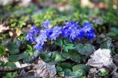 Hepaticanobilis, eerste de lente blauwe bloemen in het bos in een zonnige dag royalty-vrije stock fotografie