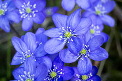 Hepaticas Royalty Free Stock Photo