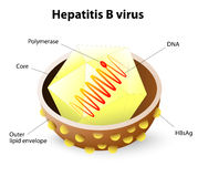 Hepatitis B virus structure. Hepatitis is an inflammation of the liver that can be caused by a group of viruses. Hepatitis B are the most common types of viral Stock Photography