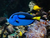 Hepatus de Paracanthurus o Surgeonfish de la paleta foto de archivo